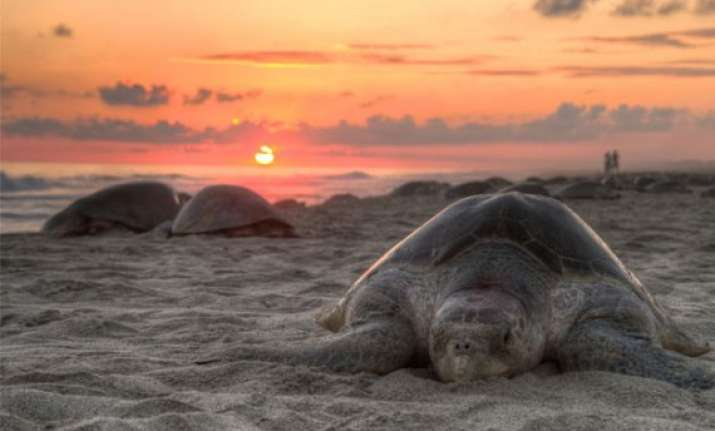 sporadic nesting activity of olive ridley turtles in odisha
