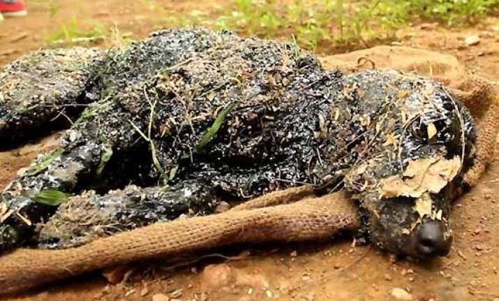 in pics dog turned rock solid after falling in hot tar