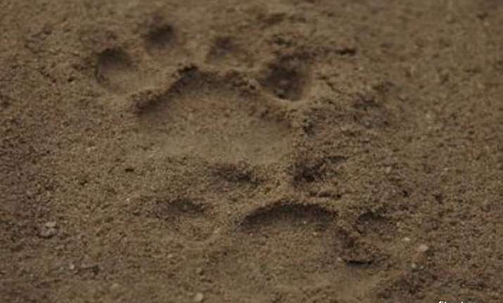 leopard pug marks found in tamil nadu village