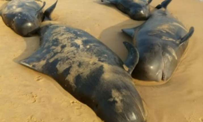 over 100 whales wash ashore in tamil nadu s tuticorin