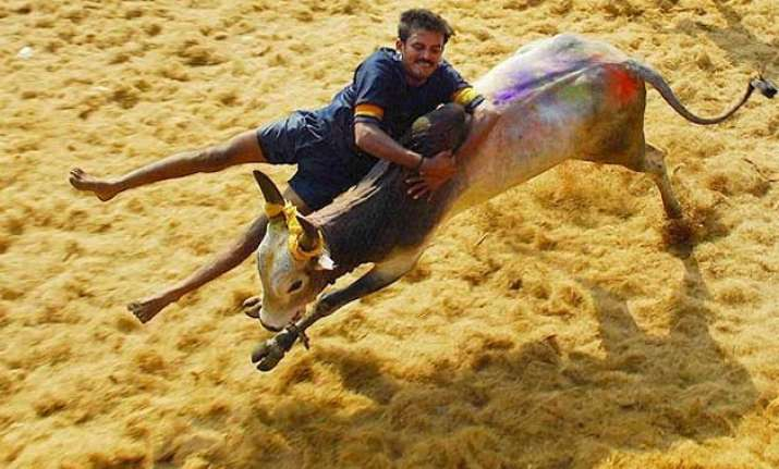 centre gives go ahead for bull taming sport jallikattu