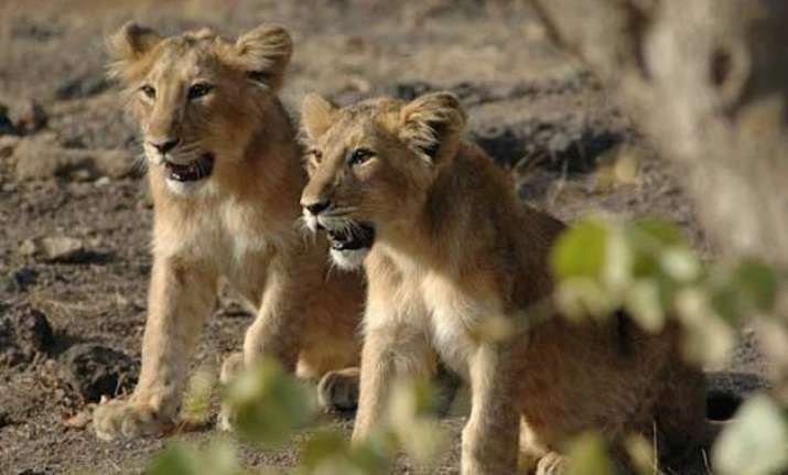 number of asiatic lions in gir goes up to 523 census