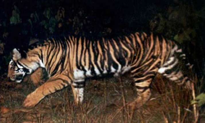 black tigers unique to odisha on the verge of extinction 28