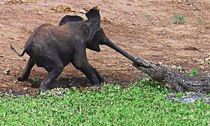 crocodile caught hold of baby elephant s trunk in african