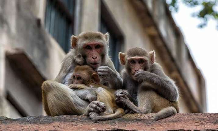 monkeys behaved peculiarly ahead of quake animal lover