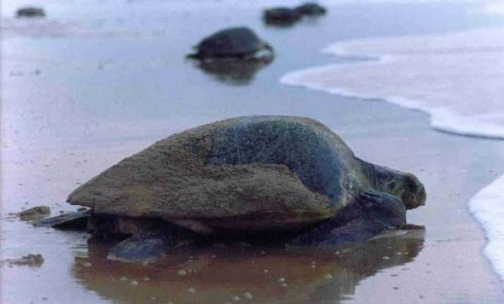 turtle nesting sites mangroves at high risk due to oil