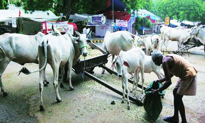 two held for cow slaughter under maharashtra s beef ban law