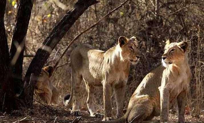 gujarat shuts down 55 illegal units in gir lion sanctuary