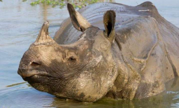 oldest female rhino of dudhwa tiger reserve dies