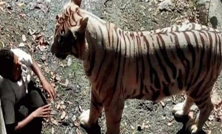 zoo tiger attack hc notice on plea for compensation
