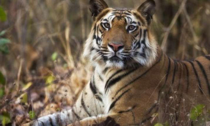 man eater tiger kills 10 yr old in up