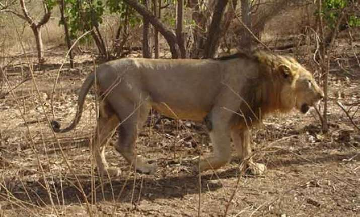 lion to replace tiger as national animal