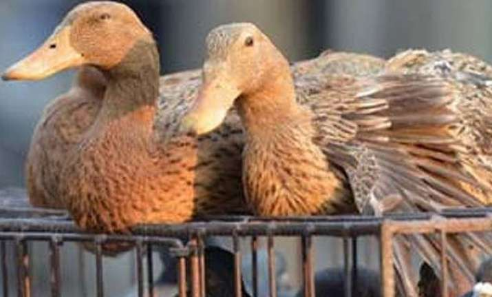 bird flu in manipur culling of fowl starts