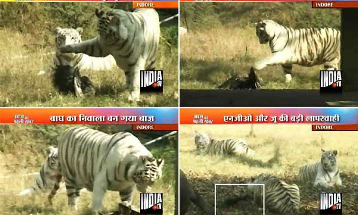 indore zoo tigers tear up wounded hawk due to officials