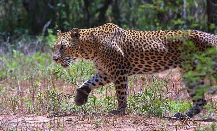 leopard caught in tea garden in jalpaiguri district