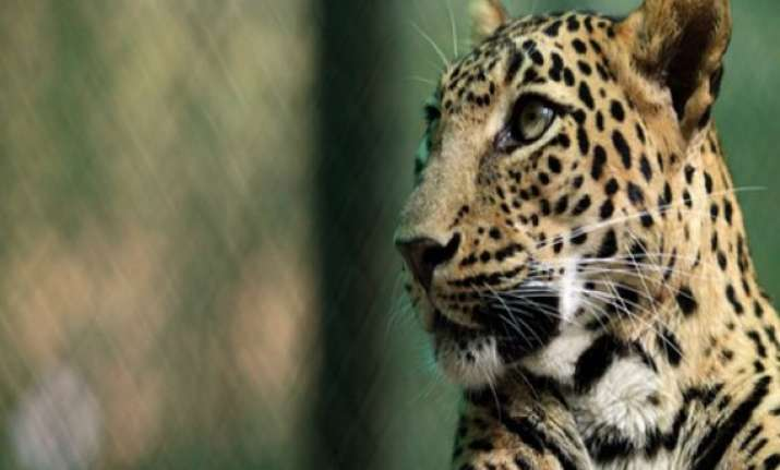 leopard injures four in assam