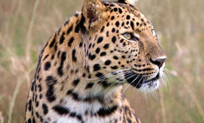 leopard killed after injuring five in bengal