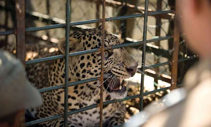 leopard caught on the fence of beml campus in karnataka