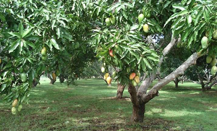 mango tree information in hindi
