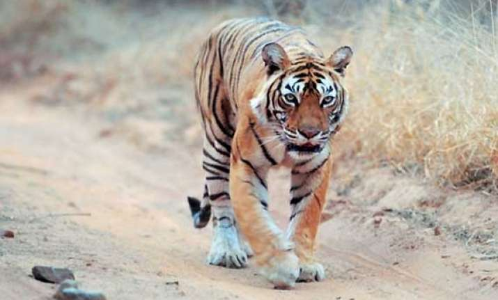 missing tigress machhli found in ranthambore