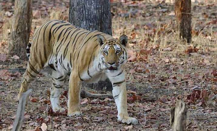 mobile phone saves man from tigress in mp