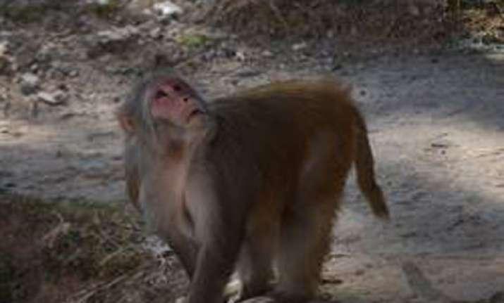 monkey population has fallen by 55 000 in hp minister
