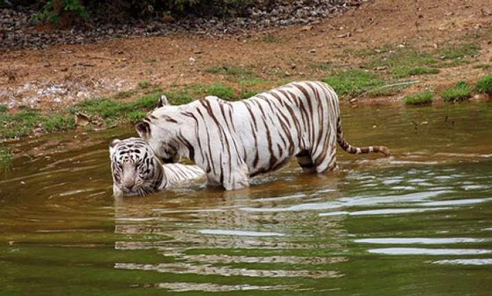 odisha reopens white tiger safari for visitors