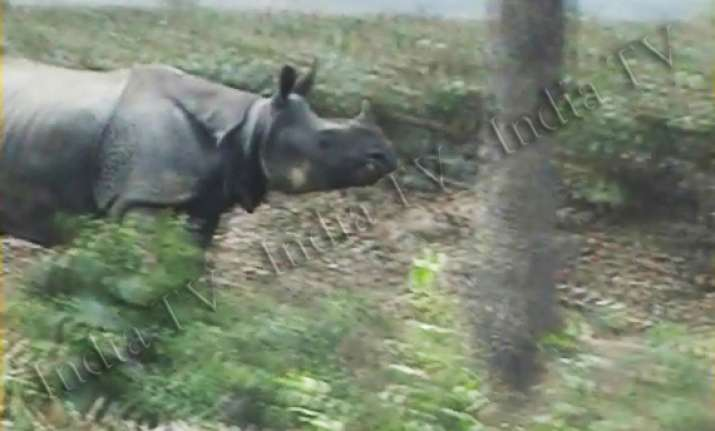 rhinoceros strays into assam tea garden