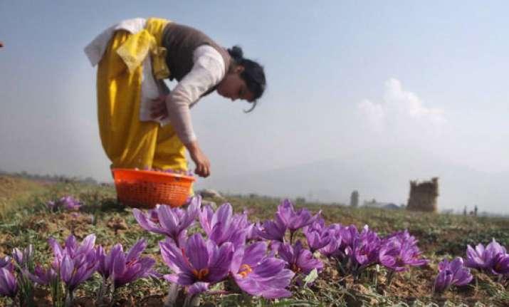 saffron fields are a reminder of kashmir s royal romance