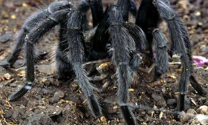 spiders create panic in remote assam villages