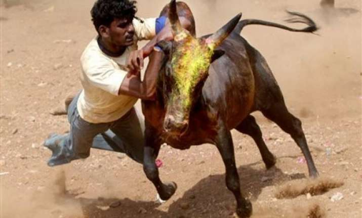 supreme court refuses to stay jallikattu bullfighting in tn