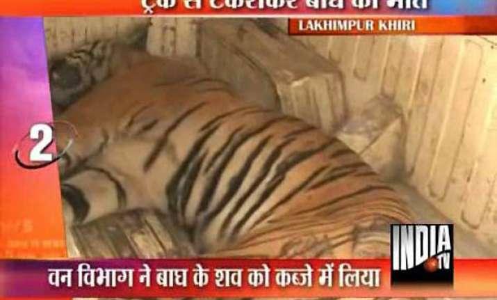 tigress killed in road mishap