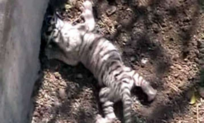 two tiger cubs die in indore zoo