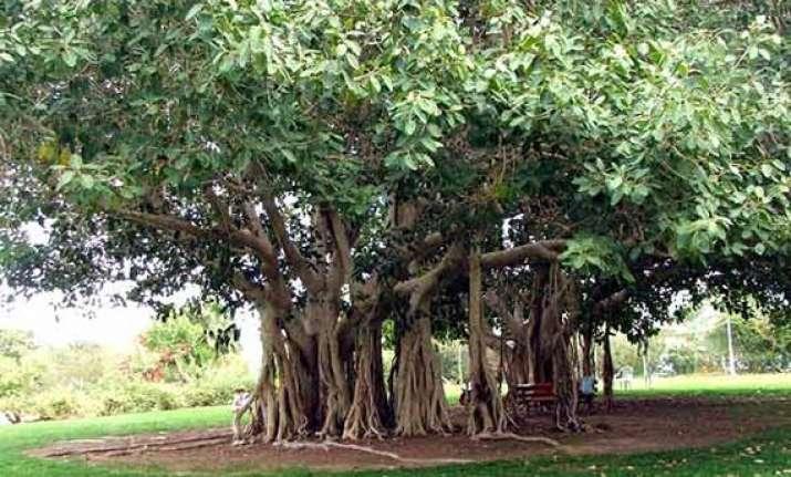 vadodara corporation plants banyan fig trees names it