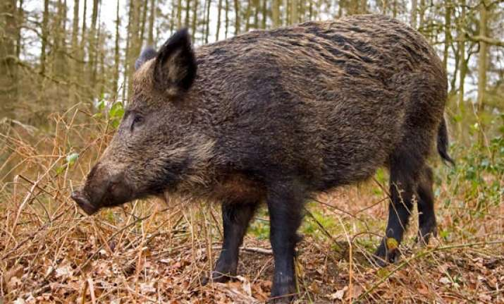 wild boar kills man in odisha villagers attack forest office