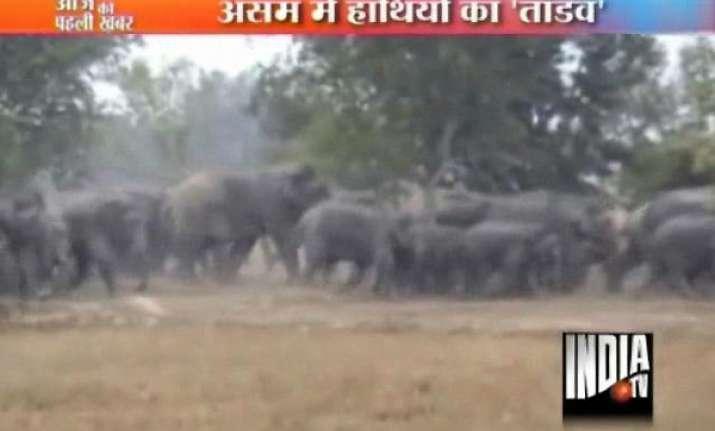 wild elephants on the rampage in assam