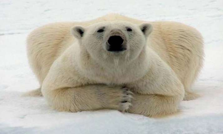 polar bears could be extinct in 25 years