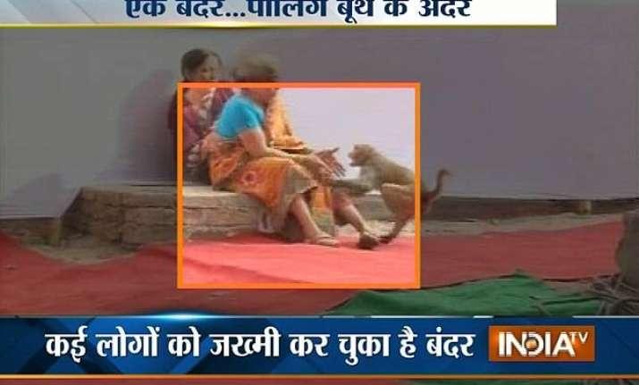 bihar polls four voters injured by monkey attack watch video