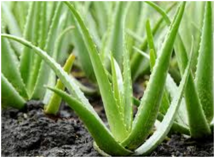 Skin Care Tips 7 Multiple Benefits Of Using Aloe Vera In Personal Beauty News India Tv