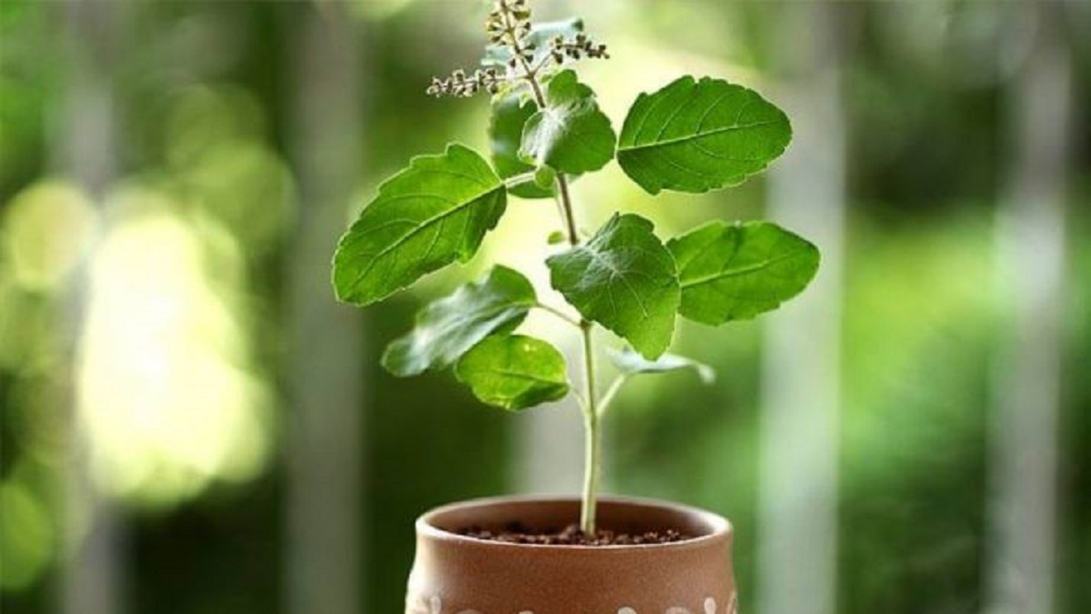 Vastu Tips For Home: Never put Tulsi plant in this direction in your abode  | Books News – India TV