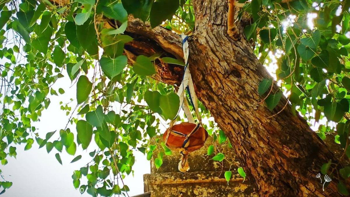 Vastu Shastra: Never plant Peepal tree at home. Here's why   Vastu News – India TV