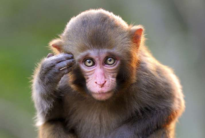 Featured Brain Similarities In Humans And Monkeys