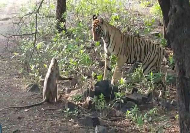 India Tv - monkey and the tigress playing