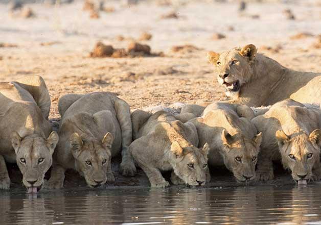 Lions- Gir Forest