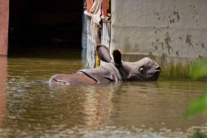 Assam floods wreak havoc on wildlife in state; 17 rhinos, 166 hog ...
