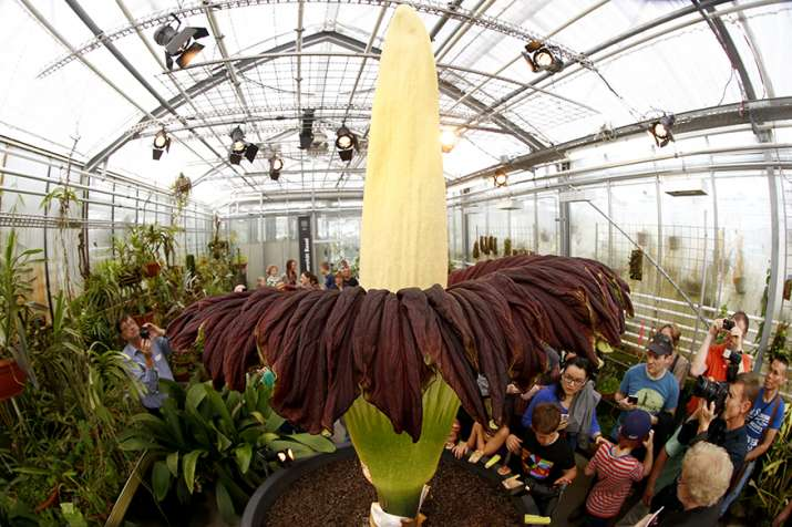 Titan Arum World S Largest Flower Blooms In Kerala After Nine Years India News India Tv