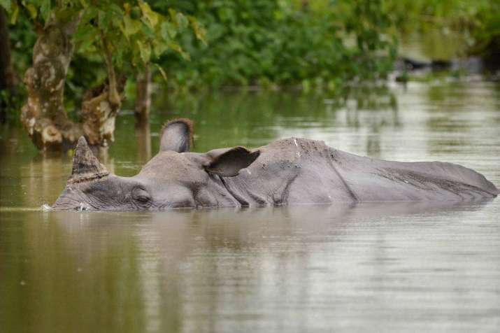 India Tv - A One-horned Rhino swims through flood waters in Kaziranga National Park