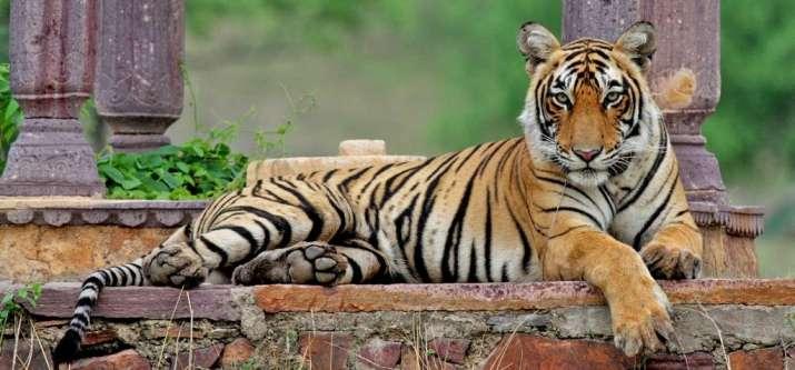 Oldest Tigress Died