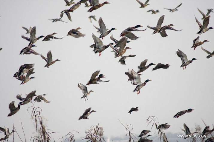 Bhitarkanika reports rise in number of winged guests- India