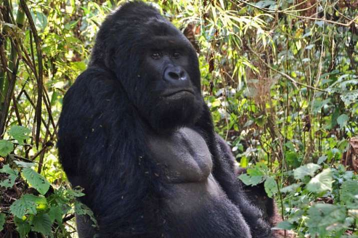 Eastern gorilla listed as critically endangered